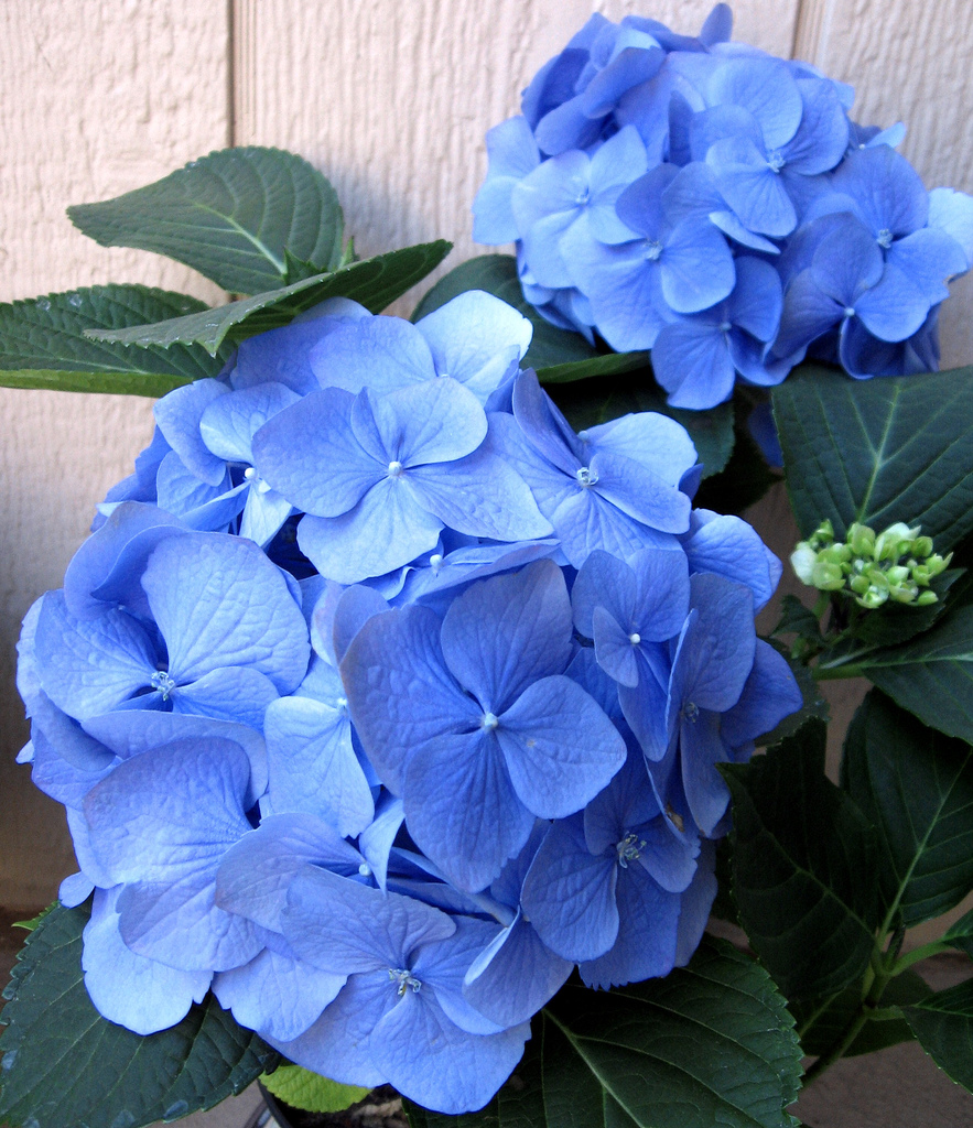 How To Prolong The Life Of Hydrangea Cut Flowers